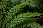 Sword ferns (Polysti