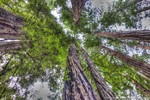 Tall Redwood trees a