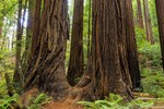 Aged Redwood trees (